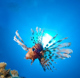 Lionfish and sun at the background