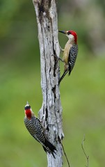 Couple of West Indian Woodpecker (Melanerpes superciliaris)