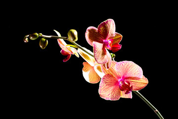 Beautiful pink orchid branch