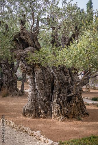 Tuinposter Olijfboom Gethsemane gardens