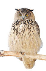 close up of an eagle-owl looking straight at the camera.