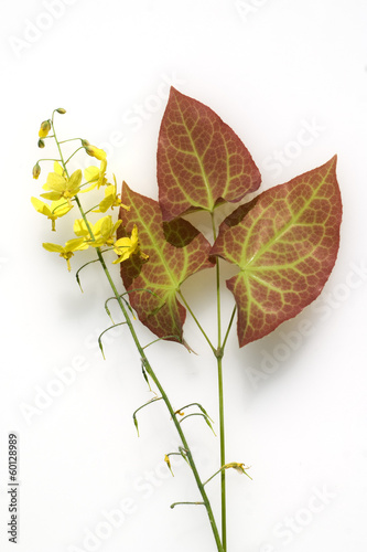 Epimedium, Bluete