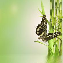 papillon sur bambou de la chance