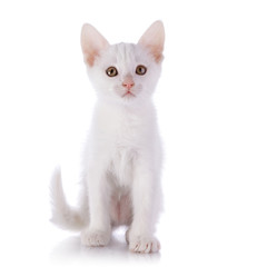 White kitten.