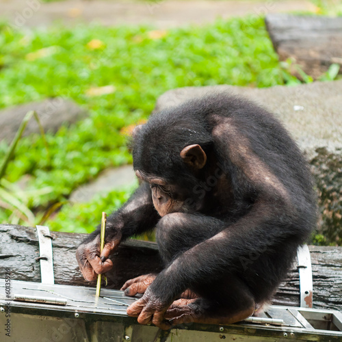 Foto op Canvas Aap Common Chimpanzee