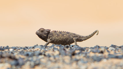 Namaqua Chameleon hunting in the Namib desert