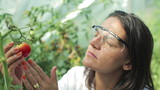 scientist checking a tomato in the greenhouse