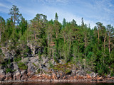 Pine forest on the rock in Karelia