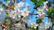 Cherry-tree blossoms. White flowers and green leaves
