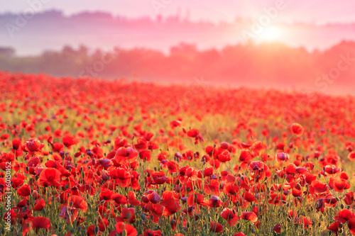 Fototapeta red poppy field in morning mist