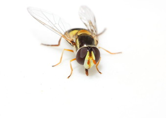 Macro of hoverfly sitting on a white piece of paper