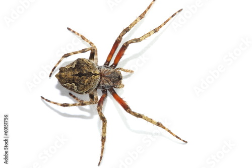 Garden spider on a white piece of paper