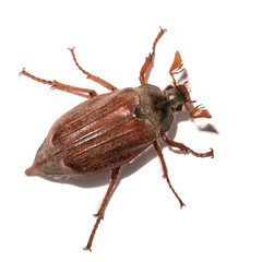 Maikäfer, Melolontha, Insekt, cockchafer, maybug