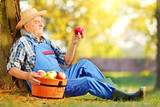 Agricultural worker in overalls with basket of harvested apples