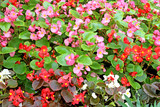 Flowers red and pink begonias