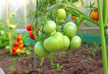 Bunch of green tomatoes on a branch growing in a greenhouse
