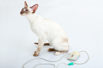 Siamese Cat plays with computer mouse