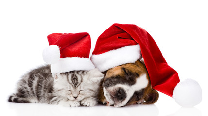 sleeping scottish kitten and puppy with santa hats. isolated