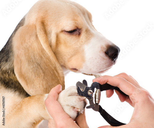 vet cutting dog toenails. isolated on white background