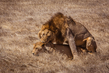 Lion couple