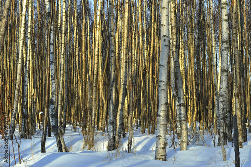 The Winter birch wood