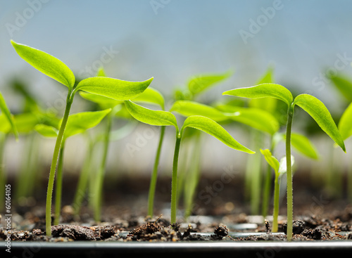 Vegetable sprouts in peat tray