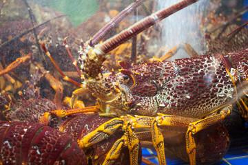 Marine crayfish