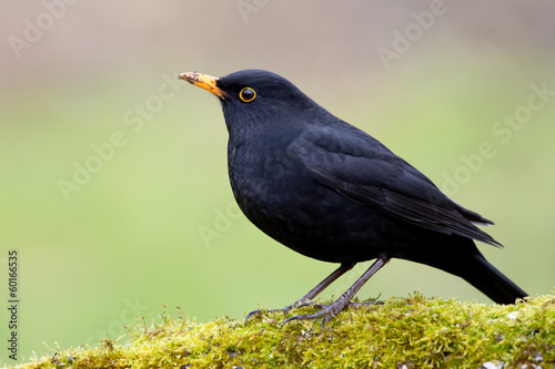 canvas print picture Amsel