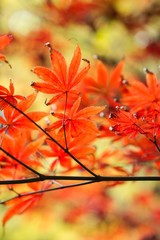red maple leaves in sunshine