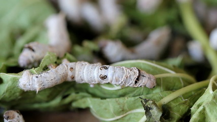 Silk worms eating, feeding mulberry leaves