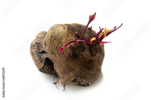 Burak zwyczajny Beta vulgaris شمندر