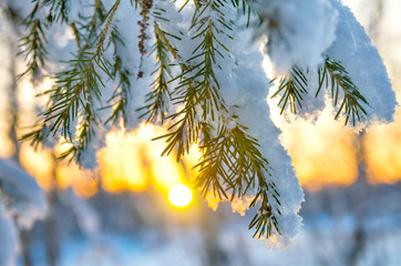 Snow-covered tree branch at sunset