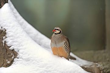 Wild partridge in a natural habitat