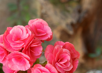 Beautiful flower ,Pink begonia flower