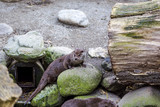 Otter plays