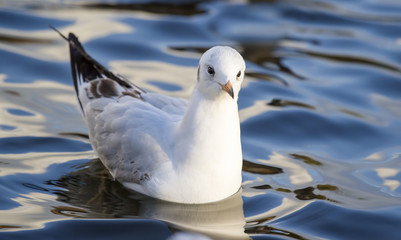 Black-headed gull (Chroicocephalus ridibundus) on water