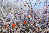 frozen hips - beautiful winter picture