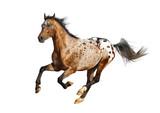 appaloosa stallion - 60182734