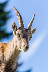 Portrait of an Ibex doe