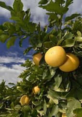 reife Grapefruit am Baum