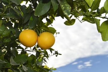 2 reife Grapefruit am Baum