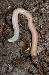 Wurm bohrt sich in Boden