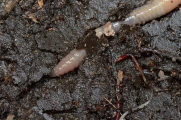 earthworm tunneling