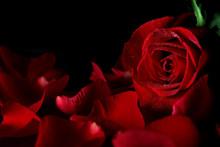 "Постер, картина, фотообои ""Red rose"""