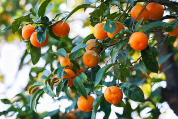 citrus tree in orchard