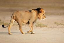 Grand mâle lion africain, le désert du Kalahari