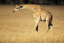 Girafe dans les prairies ouvertes