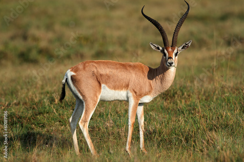 Grants gazelle, Lake Nakuru National Park