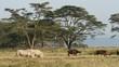 White rhinoceros feeding with African buffaloes, Lake Nakuru