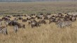 Blue wildebeest and plains zebras grazing, Masai Mara